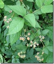 WildBlackberries
